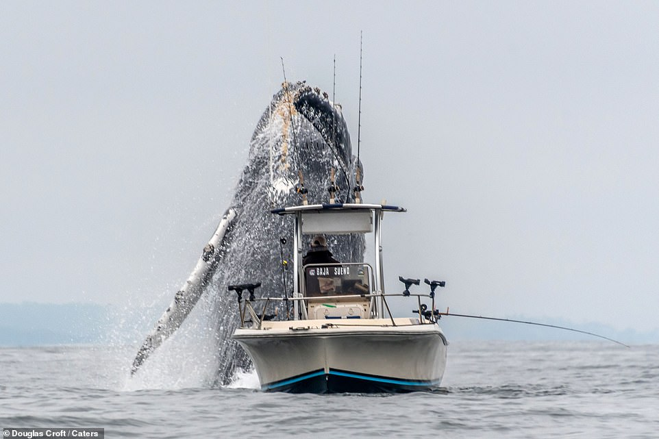 Taken by photographer Douglas Croft, 60, the photos show the whale shooting up through the otherwise calm waters