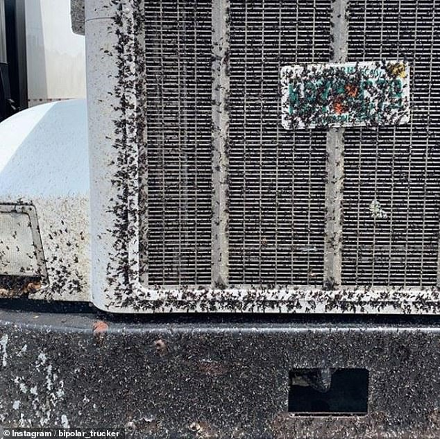 Such a nuisance: Lovebug carcasses can clog up radiators and cause vehicles to overheat